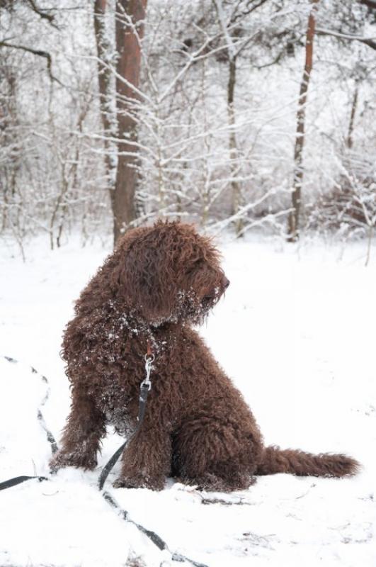 barbet Zimą w lesie
