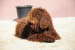 barbet-argoamon-i-otka013.jpg
