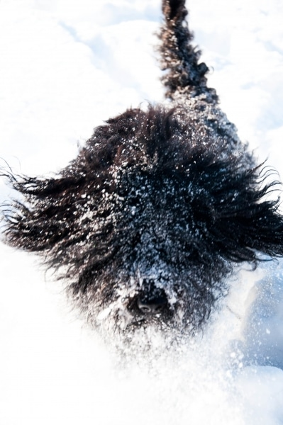 barbet Zima na Podlasiu