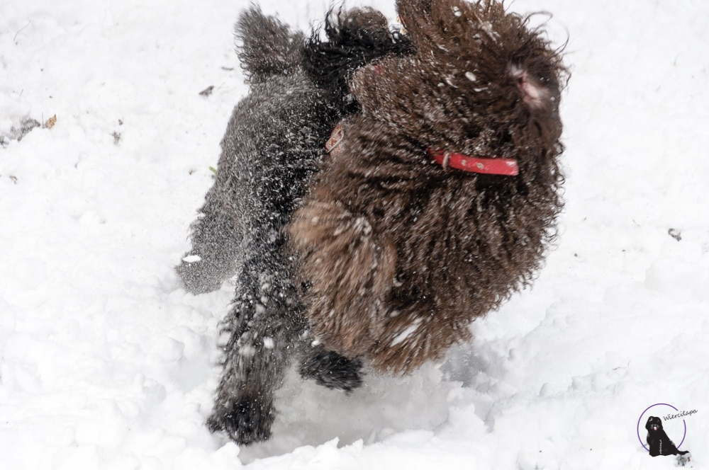 barbet Śnieg