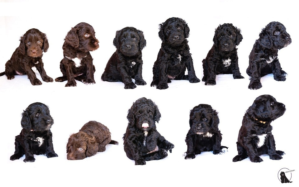 "barbet Puppies - planned litter""O"" -autumn 2018"