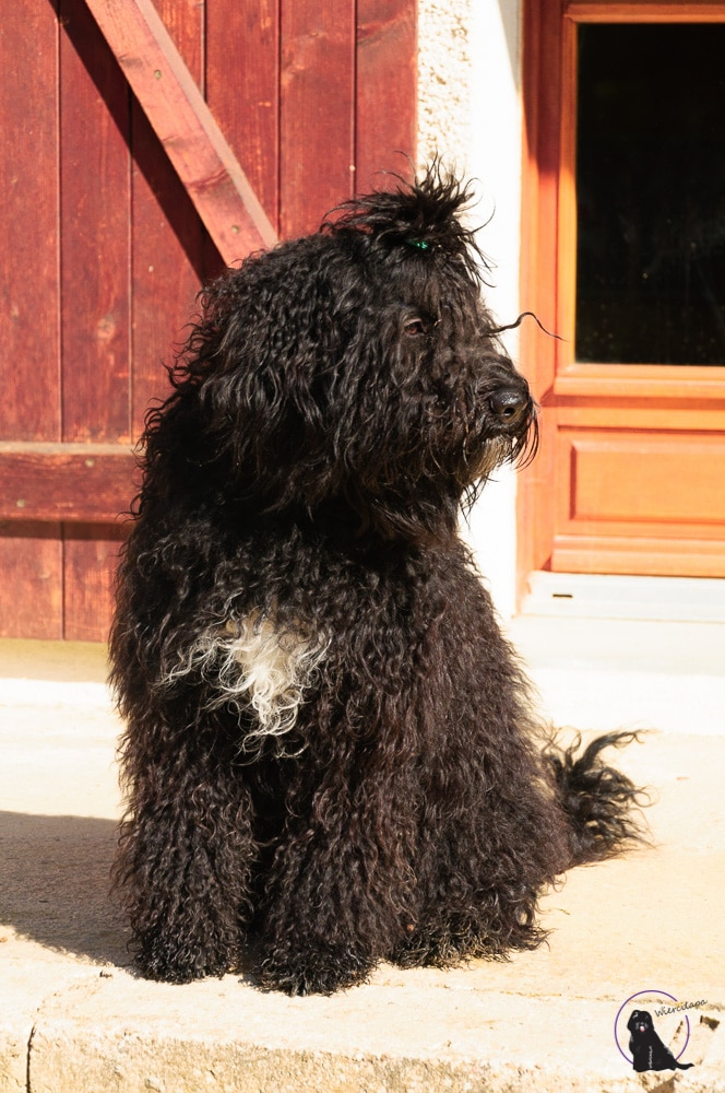 barbet About the breed