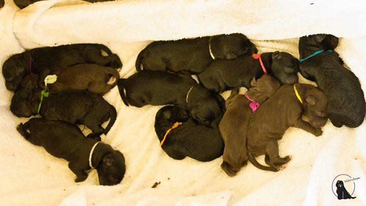 barbet Georgia urodziła jedenaście maluchów
