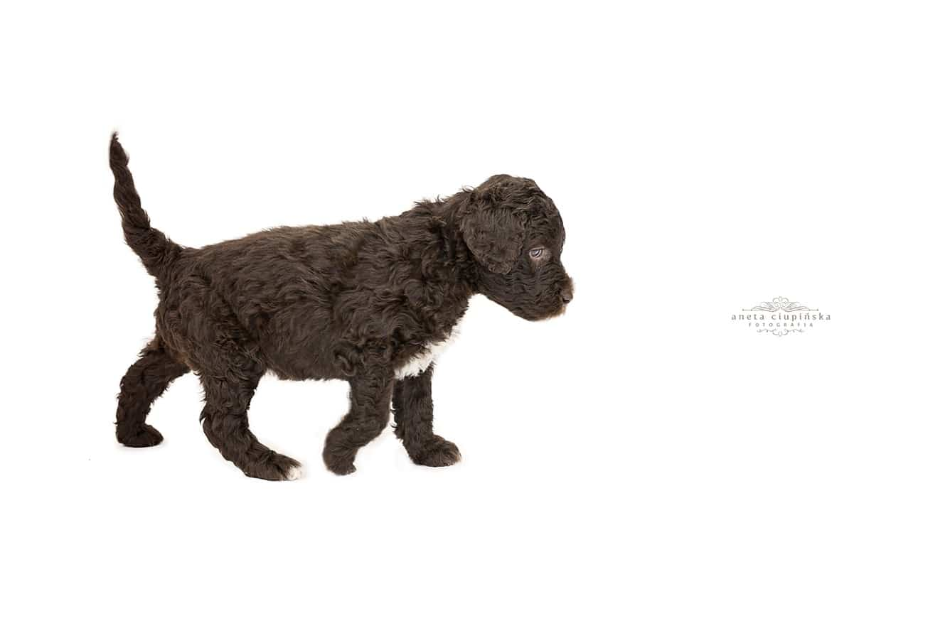 barbet-Pups grow so fast 1