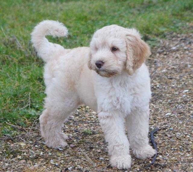 Quaciendas: Maly Cudo - Barbet: French Water Dog Y Dog Names