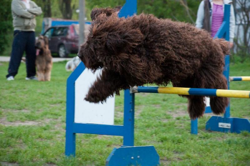 barbet Barbet can jump