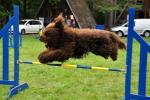 barbet-agility-57-of-139.jpg