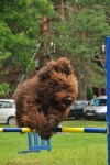 barbet-agility-26-of-139.jpg