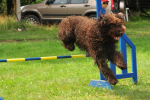 barbet-agility-43-of-139.jpg