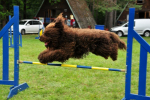 barbet-agility-57-of-139.jpg