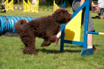 barbet-agility-7-of-139.jpg