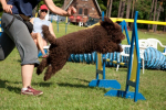 barbet-agility-8-of-139.jpg