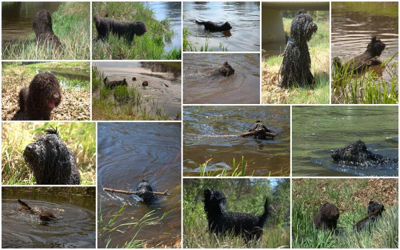 barbet Waterdogs