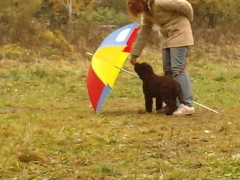 barbet Psie przedszkole