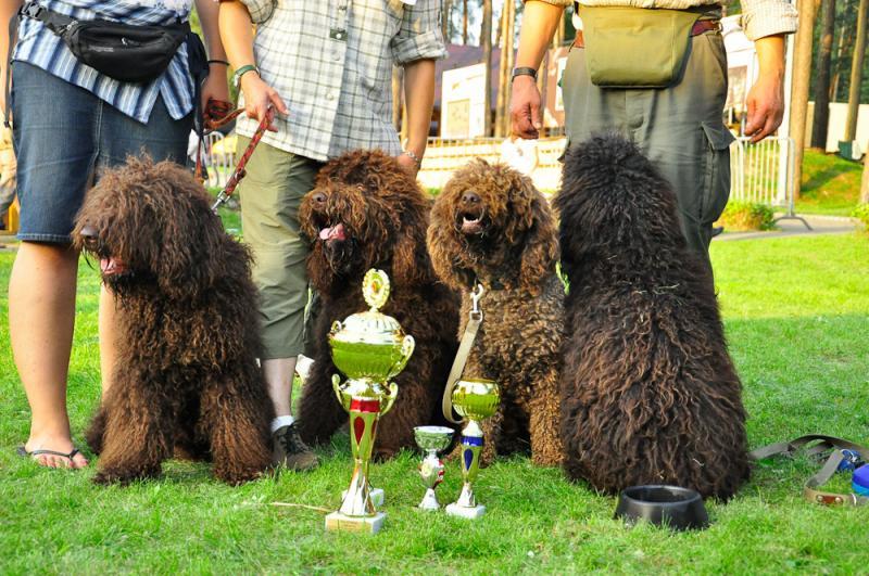 barbet Dog show in Piotrkow Trybunalski