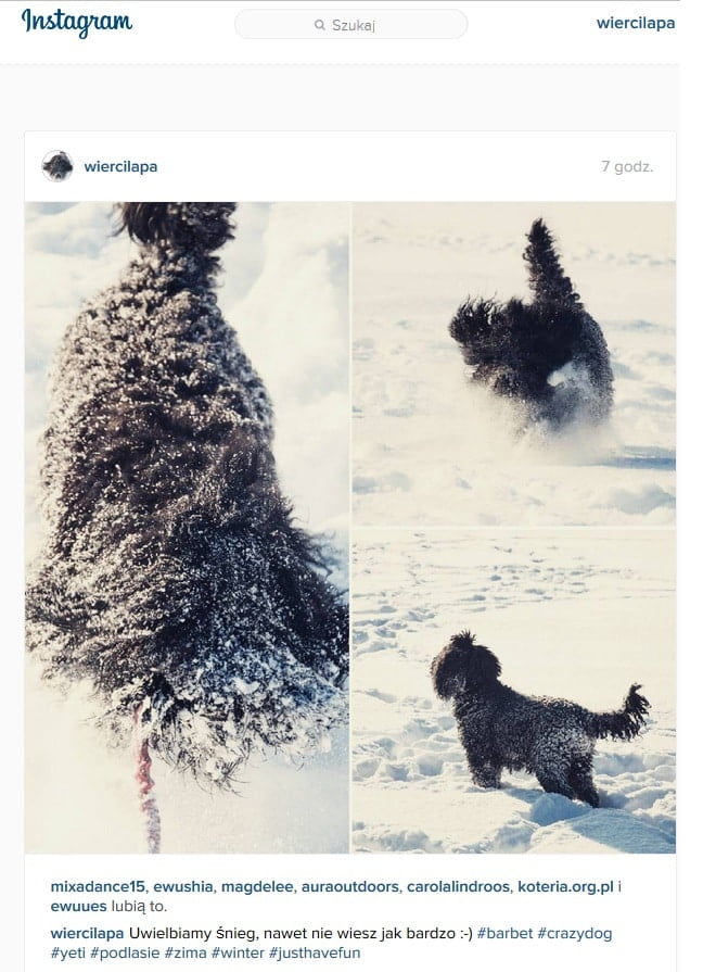 barbet Wierciłapy na Instagramie