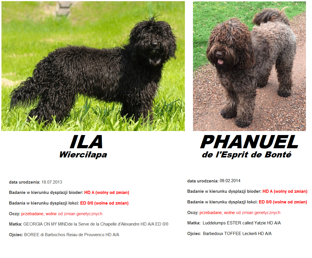 """barbet-Puppies - planned litter""""O"""" - autumn 2018 1"""